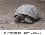 galapagos giant tortoise ... | Shutterstock . vector #1094235179