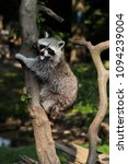 protrait of adult lotor common... | Shutterstock . vector #1094239004