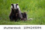 a badger  meles meles ... | Shutterstock . vector #1094245094