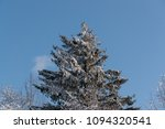 coniferous tree covered with... | Shutterstock . vector #1094320541