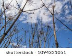 dry branches of a hogweed on a... | Shutterstock . vector #1094321051