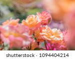 beautiful multi colored rose... | Shutterstock . vector #1094404214