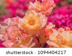 beautiful multi colored rose... | Shutterstock . vector #1094404217