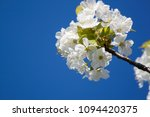 cherry blossom and blue sky   Shutterstock . vector #1094420375