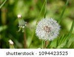 dandelion in garden   Shutterstock . vector #1094423525