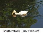 white duck. young white ducks... | Shutterstock . vector #1094485625