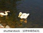 white duck. young white ducks... | Shutterstock . vector #1094485631