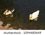 white duck. young white ducks... | Shutterstock . vector #1094485649