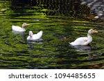 white duck. young white ducks... | Shutterstock . vector #1094485655