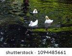 white duck. young white ducks... | Shutterstock . vector #1094485661