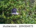 gray heron  ardea cinerea ... | Shutterstock . vector #1094504975