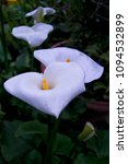 Small photo of soft focus of white Zantedeschia aethiopica (known as calla lily and arum lily) with yellow spathe - Araceae, Alismatales