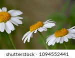 daisy with sisters   Shutterstock . vector #1094552441