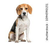 Beagle Dog In Portrait Against...