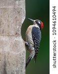 black cheeked woodpecker ...   Shutterstock . vector #1094610494