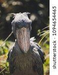 shoebill staring in jungle  | Shutterstock . vector #1094654465