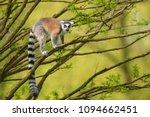 Ring Tailed Lemur   Lemur Catt...