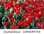 spring red tulips on a meadow | Shutterstock . vector #1094699744