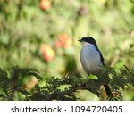 solitary southern fiscal... | Shutterstock . vector #1094720405
