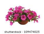 Pink Flowering Petunia In Pot...