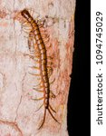 Small photo of Jungle, Chinese Red Head, Giant, Orange Legged, Red Headed and Vietnamese Centipede (Chilopoda: Scolopendromorpha: Scolopendridae: Scolopendra subspinipes) crawling and climbing a tree of wild jungle