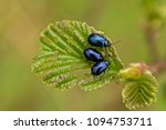 Small photo of Close up of Alder leaf with alder beetle, selective focus with bokeh green backgrounds - Agelastica alni