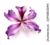 pink bauhinia purpurea isolated ... | Shutterstock .eps vector #1094803094