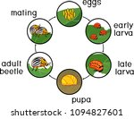 life cycle of colorado potato... | Shutterstock .eps vector #1094827601