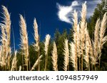 a group of pampas grass flowers ...