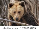 eurasian brown bear  ursus... | Shutterstock . vector #1094859065