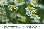 close up of yellow disc flowers ... | Shutterstock . vector #1094899274