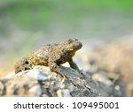 yellow bellied toad  bombina... | Shutterstock . vector #109495001