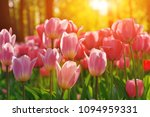 Group Of Colorful Tulip. Red ...