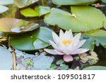 White Water Lily Flower With...