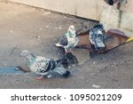 Small photo of Three pigeons take spring baths, bathe in a drain.