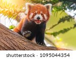 Red Panda On A Tree On A Sunny...