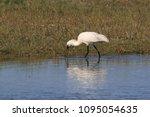 eurasian or common spoonbill in ... | Shutterstock . vector #1095054635