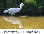 eurasian or common spoonbill in ... | Shutterstock . vector #1095054641