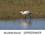 eurasian or common spoonbill in ... | Shutterstock . vector #1095054659