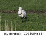 eurasian or common spoonbill in ... | Shutterstock . vector #1095054665