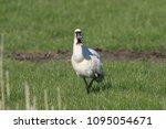 eurasian or common spoonbill in ... | Shutterstock . vector #1095054671