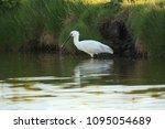eurasian or common spoonbill in ... | Shutterstock . vector #1095054689