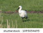 eurasian or common spoonbill in ... | Shutterstock . vector #1095054695