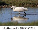 eurasian or common spoonbill in ... | Shutterstock . vector #1095056981