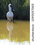 eurasian or common spoonbill in ... | Shutterstock . vector #1095057005