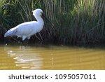 eurasian or common spoonbill in ... | Shutterstock . vector #1095057011