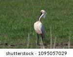 eurasian or common spoonbill in ... | Shutterstock . vector #1095057029