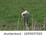 eurasian or common spoonbill in ... | Shutterstock . vector #1095057035