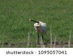 eurasian or common spoonbill in ... | Shutterstock . vector #1095057041