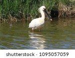 eurasian or common spoonbill in ... | Shutterstock . vector #1095057059